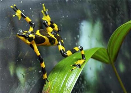 Yellow and Black Harlequin Frog takes it easy in Panama knowing that the Nagoya Protocol fund is here to help him and his friends