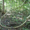 Lianas are woody vines, and are found in both temperate and tropical forests.