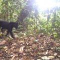 Black Jaguar Panama